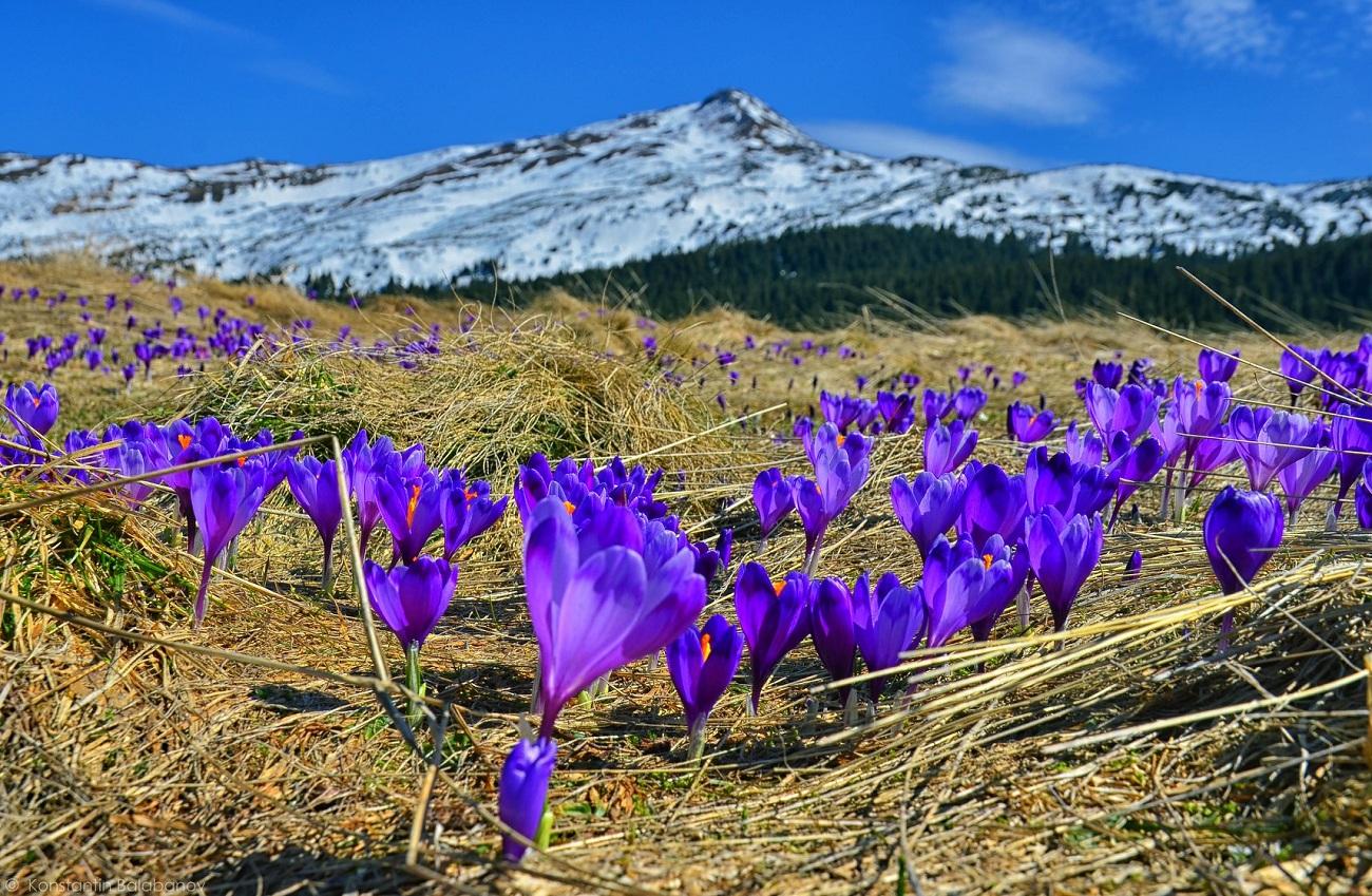 """Долины крокусов и нарциссов: самые яркие локации для """"цветочных"""" туров в апреле"""